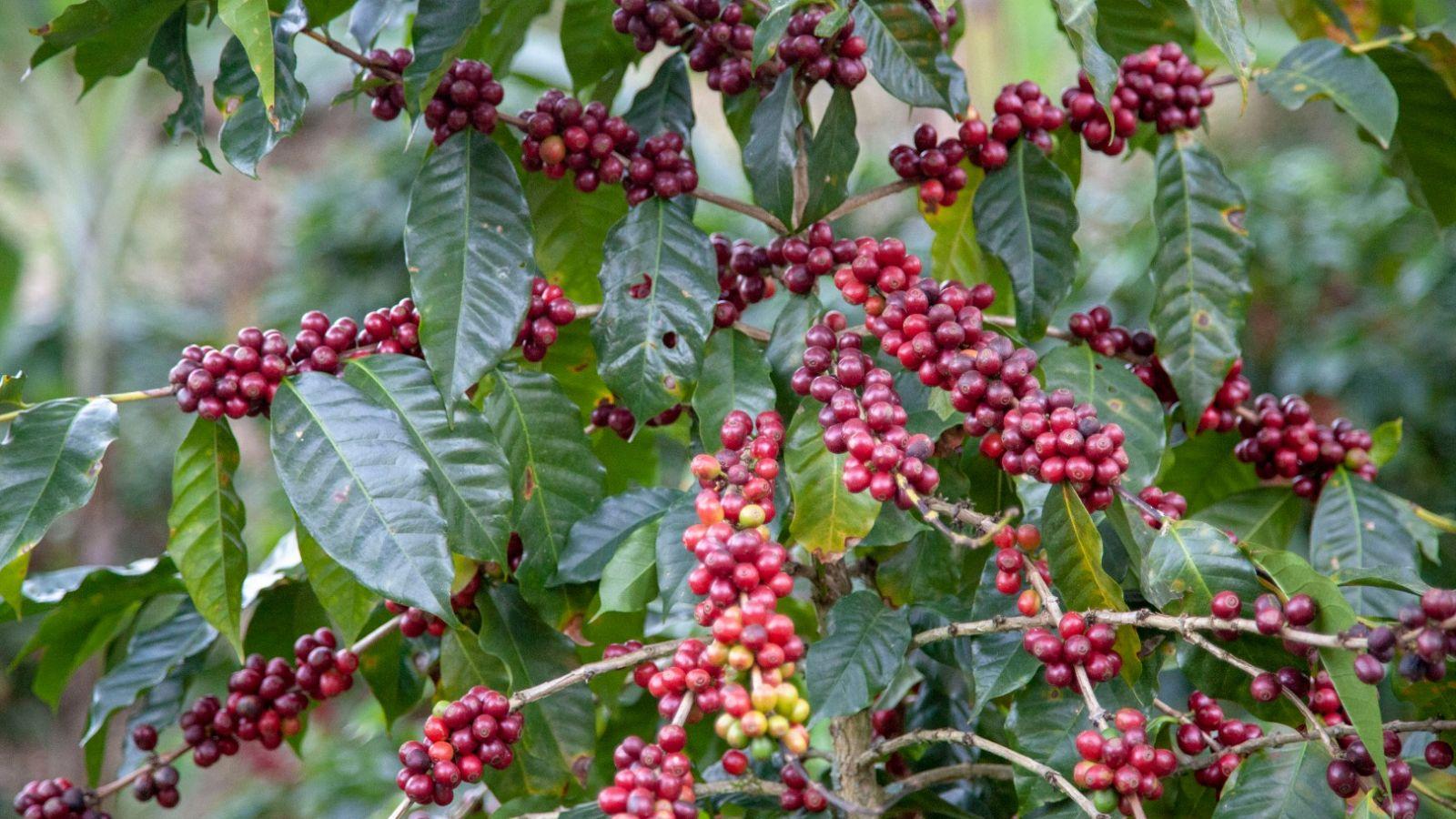 papillons torrefaction lyon - 100% de cafés de spécialité et rien d'autre